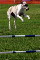 Good Whippet Blogspot